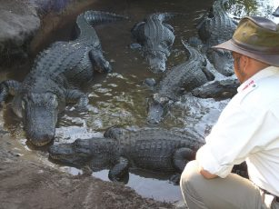 Gatorland_orlando_attractions_american_vacation_living-307x230 - disney